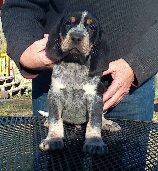Old Fashioned Bluetick Coonhound Puppies For Sale